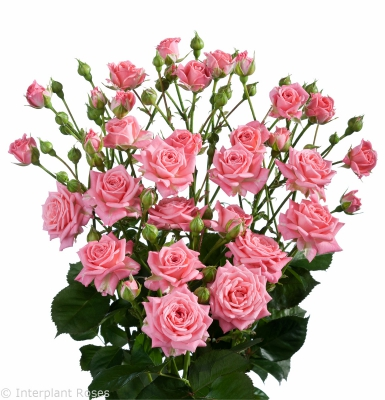 spray rose varieties Sylvana