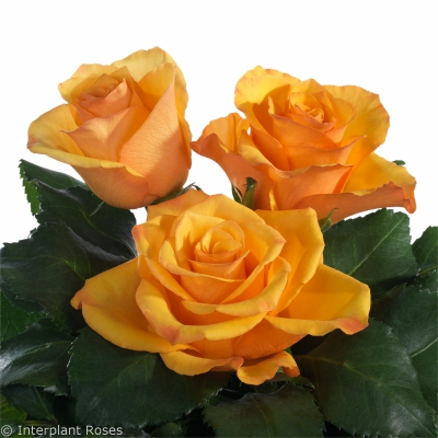medium stem rose varieties Tycoon