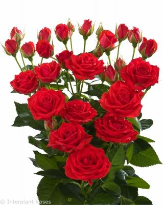 red spray roses Vanessa