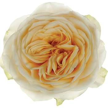 Interplant breeder Garden Shaped Roses