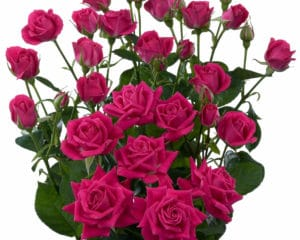 pink spray roses Alicia