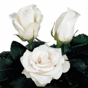 hybrid tea rose breeding Amelia