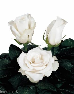 hybrid tea rose breeding Amelia