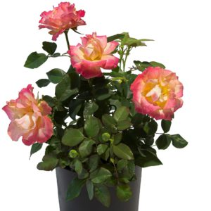 Breeder Interplant Garden Roses