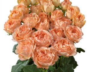 Interplant breeder of various rose varieties