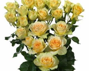yellow spray roses Bandolero