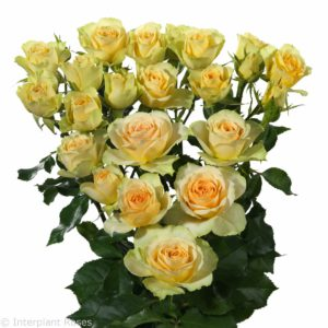 yellow spray roses Bandolero