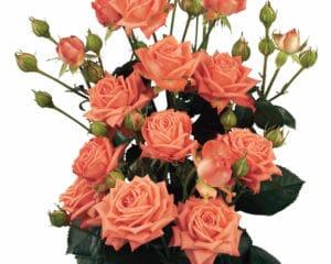 spray rose propagation Barbados