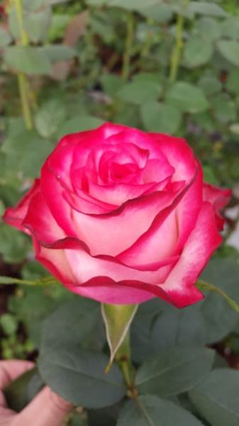 Interplant Roses Breeder Hybrid Tea Rose