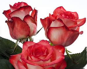 hybrid tea rose breeders Blush