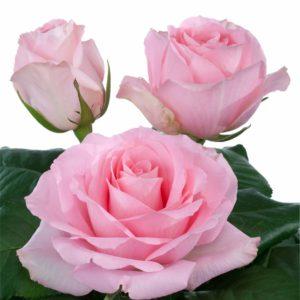 intermediate hybrid tea rose varieties Candy