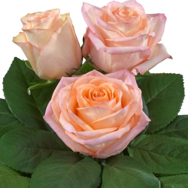 Interplant breeder of hybrid tea rose varieties