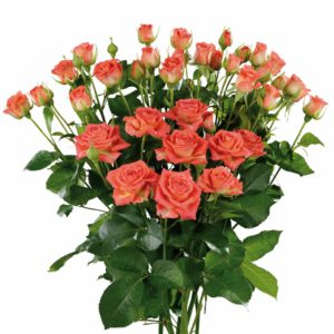 long stemmed spray roses Charming