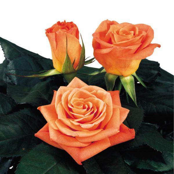 manual pollination sweetheart rose Chelsea