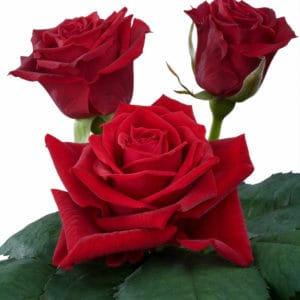 sweetheart rose breeding Red Adore