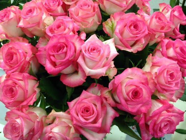 Interplant breeder Sweetheart roses