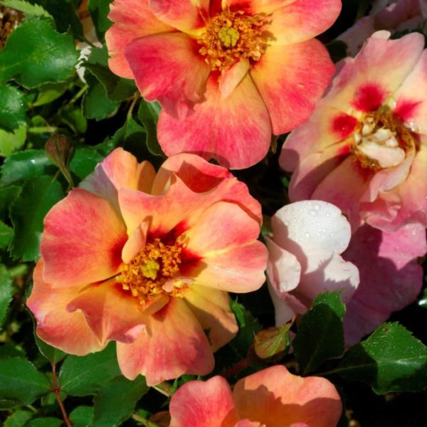 Garden Roses Breeder Interplant