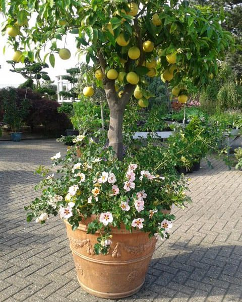 Garden Roses Breeder Interplant