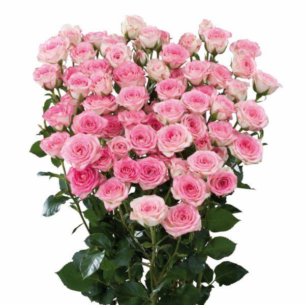 spray rose breeding Creamy