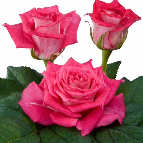 hybrid tea rose breeders Crossfire