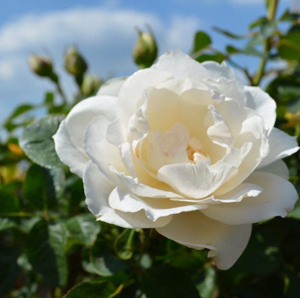 Interplant breeder of garden rose varieties
