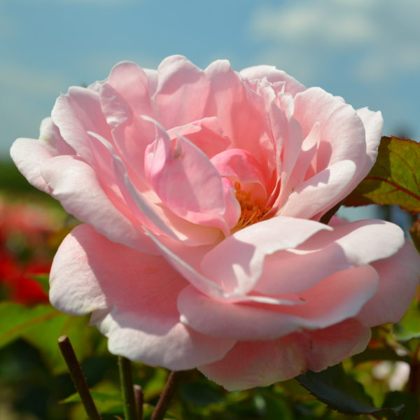 Interplant breeder of garden roses