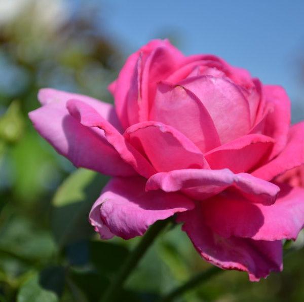 interplant garden rose breeder