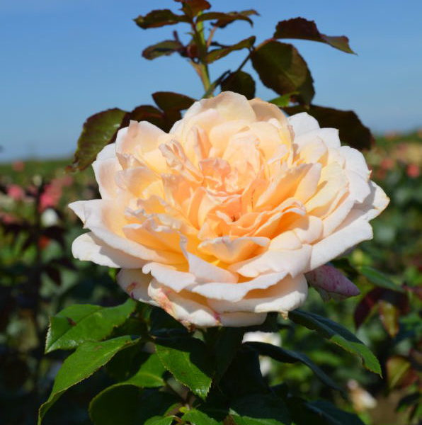garden roses of Interplant