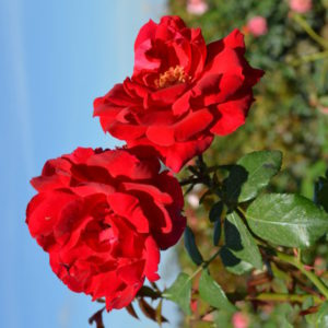 Interplant breeder of garden rose varieties