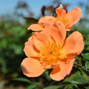garden rose varieties Interplant