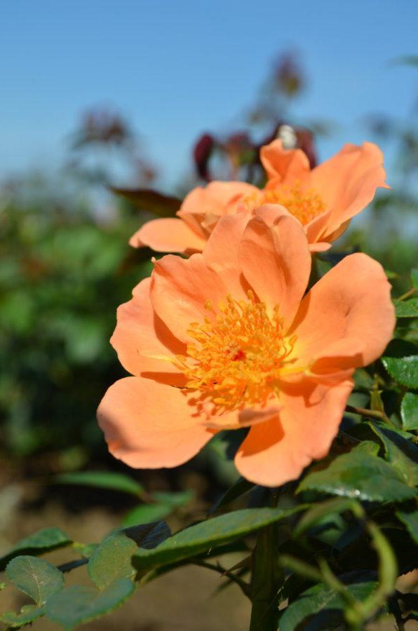 garden rose varieties Interplant