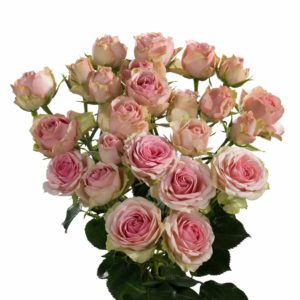 premium spray rose breeders Dinara