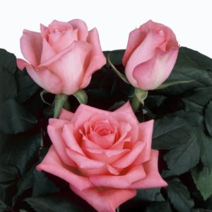 rose seeds hybrid tea rose Discovery