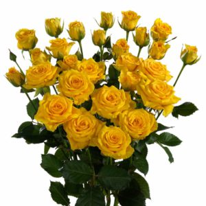 yellow spray roses Dutch
