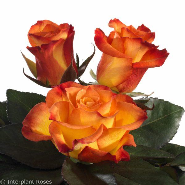 crossbreeding hybrid tea roses Eternal