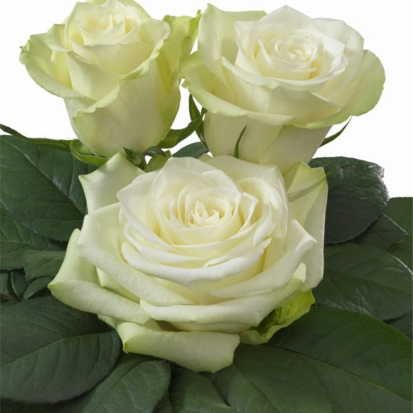 Interplant Breeder Hybrid Tea Roses