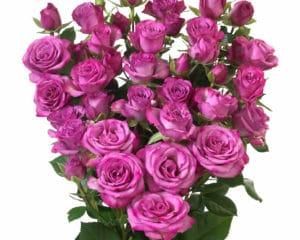 Interplant breeder Spray Roses