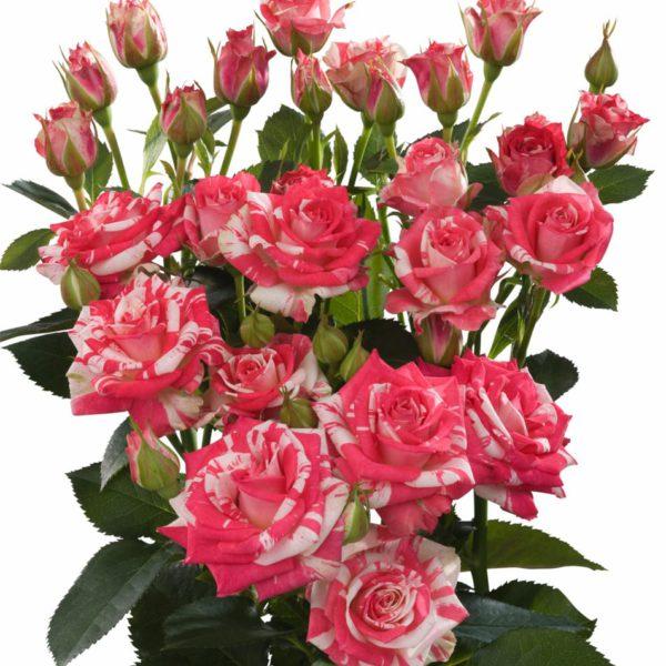 bi color spray roses