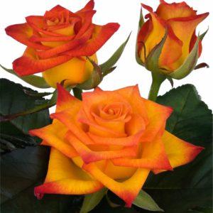 manual pollination intermediate hybrid tea rose Flame