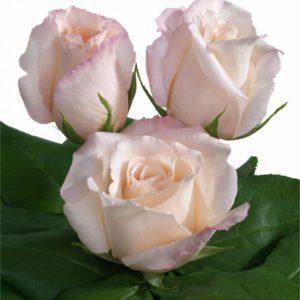 Interplant Breeder of roses