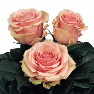 hybrid tea rose varieties Geraldine