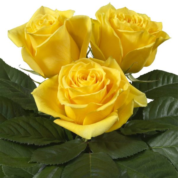 Interplant breeder of Intermediate Hybrid Tea Roses