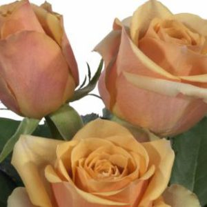 medium stemmed roses Golden