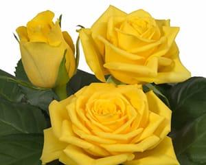 sweetheart rose breeders Goldfinch