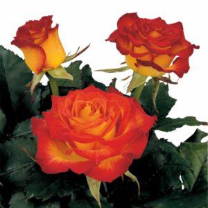 hybrid tea roses varieties large rose bloom