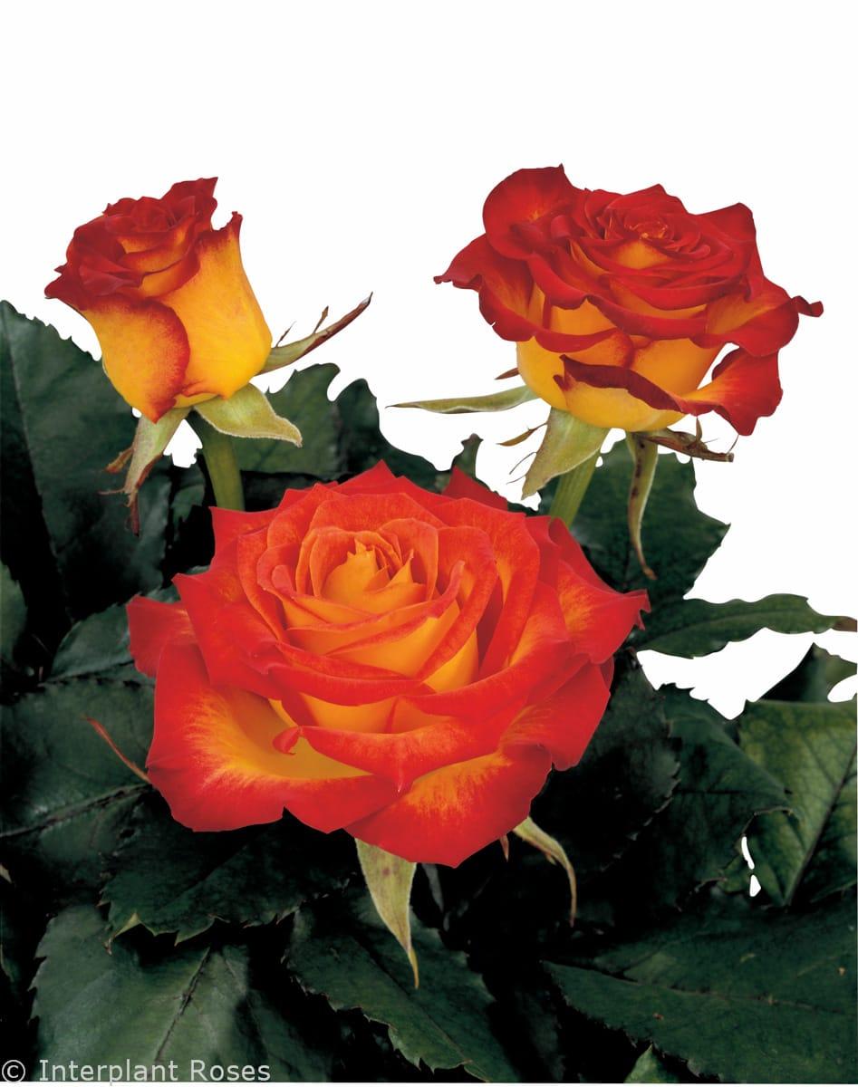 4770393c4e98 hybrid tea roses varieties large rose bloom