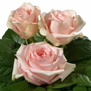 Interplant Roses breeder of Hybrid Tea Roses