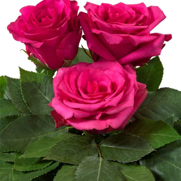 Interplant breeder of a wide range of rose varieties