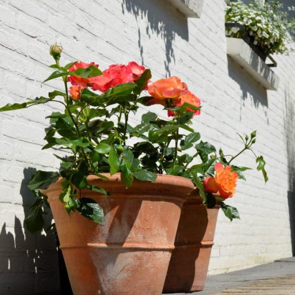 Interplant breeder garden roses