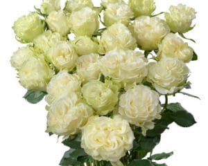 Interplant breeder of new types of roses